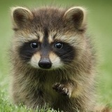 Raccoon C.
